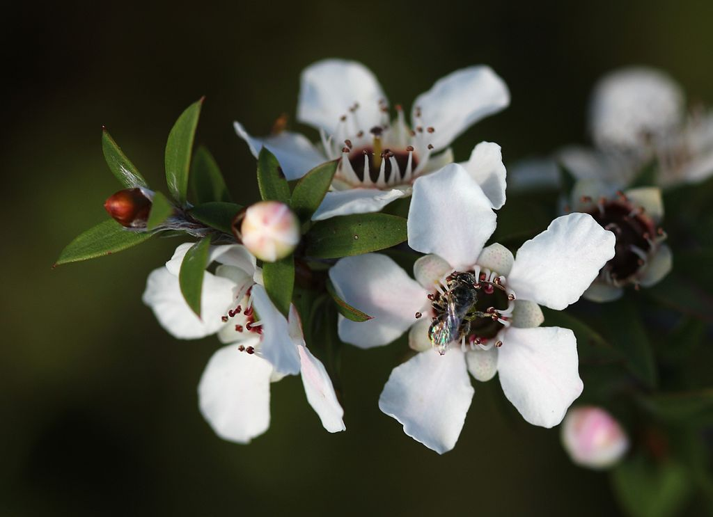 Leptospermum scoparium. Kredit: Avenue.Wikimedia commons